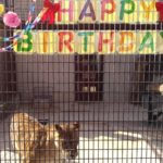 小諸動物園(懐古園内)ライオン「ナナちゃん」16歳誕生日